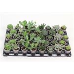 """Additional Images for 2.25"""" Succulents Assorted  (case 38)"""