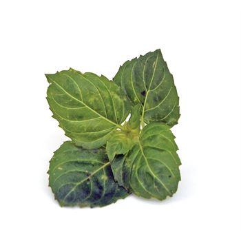 """4.5"""" Herbs Organic Basil Thai      (Case 15)"""