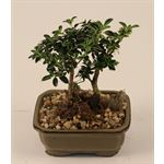 """Additional Images for 5"""" Bonsai Assortment Small   (Case 12)"""