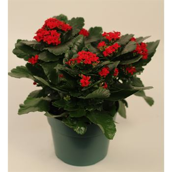 "6"" Kalanchoe Red (Case 8)"