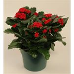 """Additional Images for 6"""" Kalanchoe Red (Case 8)"""