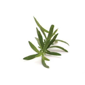 "6"" Herbs   French Tarragon        (Case 6)"