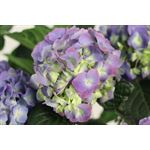 "Additional Images for 8"" Hydrangea Premium      (Case 4)"