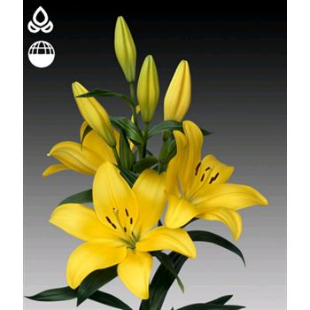 Lily 2-3 Bloom Yellow