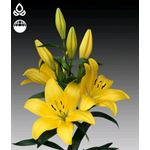 Additional Images for Lily 4 Bloom Yellow