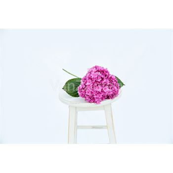 Hydrangea Local Medium Pink