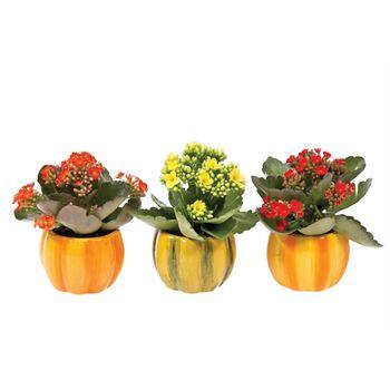 Fall Mini Pumpkin- Mini's MPUN101 (Pack 24)