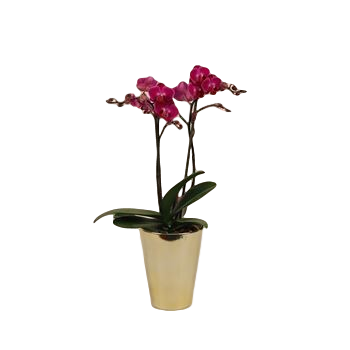 "5"" Phal Orchid Maxiflora in Ceramic Pot (Case 8)"