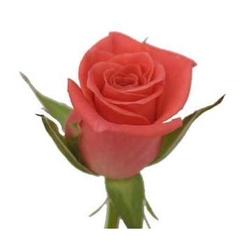 Sweetheart Rose Kiss