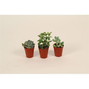 """1.5"""" Succulent in Plastic Pot  (Case 61)"""