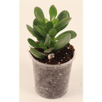 "2.25"" Succulents Assorted  (case 38)"