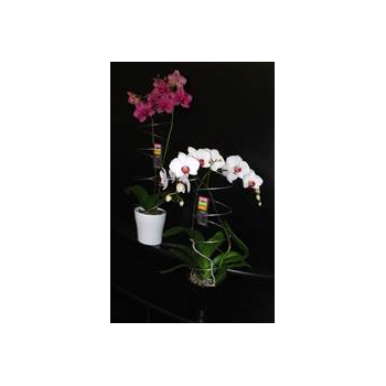 """5"""" Phal Orchid 2 Spike with Spiral in Ceramic Pot (Case 8)"""