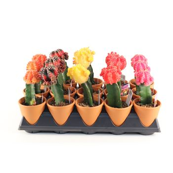 """4"""" Cactus - Grafted Moon in Clay  (Case 15)"""