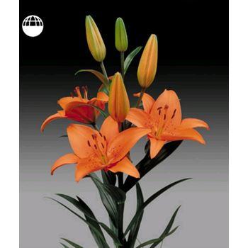 Lily 4 Bloom Orange