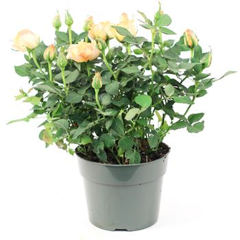 "6"" Rose Assorted (Case 8)"