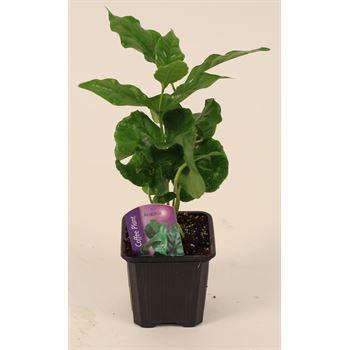 """3"""" Coffee Plant (Arabica)  (case 32)"""