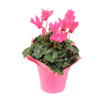 "6"" Cyclamen Pink w/Pink Cover BCA     (Case 8)"