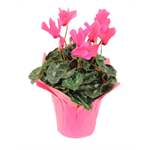 "Additional Images for 6"" Cyclamen Pink w/Pink Cover BCA     (Case 8)"
