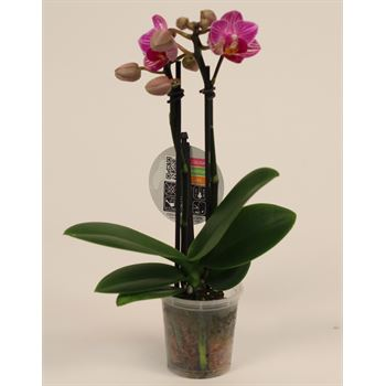 "2.5"" Phalaenopsis Orchids        (Case 25)"