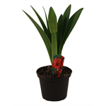 "6"" Amaryllis Double (Case 8)"
