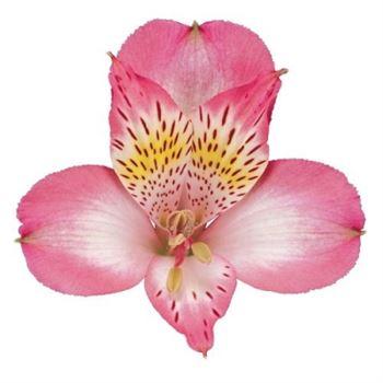 Alstroemeria Select Ovation