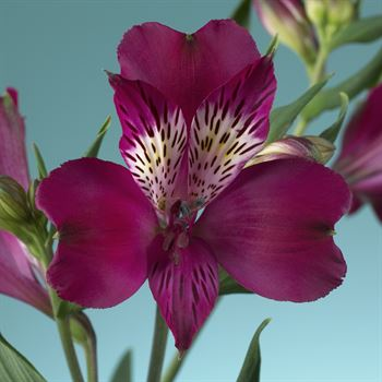 Alstroemeria Select Emotion