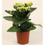"""Additional Images for 4"""" Calandiva Yellow (Case 18)"""