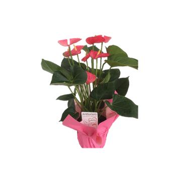 """6"""" Anthurium Pink in myalr     (Case: 8)"""