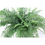 """Additional Images for 6"""" HB Boston Fern         (Case 8)"""