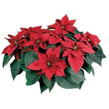 """6"""" Poinsettia Premium Red    (Case 8)"""