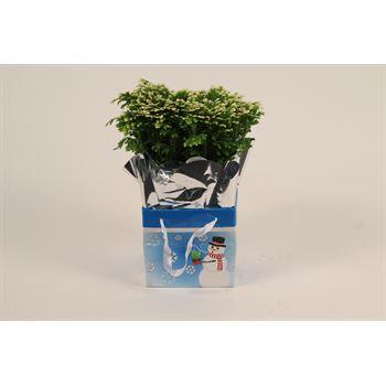 Frosty Fern in Snowman Gift Box  (Case:15)