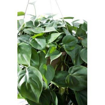 "6"" Philodendron Cordatum"