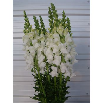 Snapdragons Select White