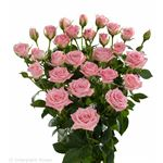 Additional Images for Rose Spray Local Pink