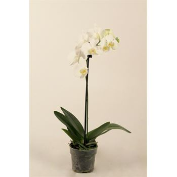 """4"""" Phal. Orchid  1 Spike (Case 15)"""
