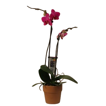 """5"""" Phal Orchid 2 Spike in Terra Cotta (Case 8)"""