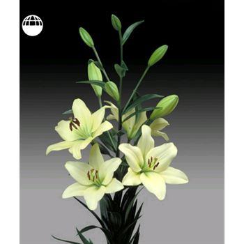 Lily 4 Bloom Cream