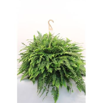 "12"" HB Boston Ferns - Jumbo       (Case 2)"