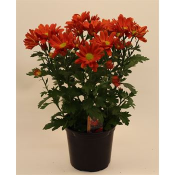 "4.5"" Mums Red Daisy (Case 15)"
