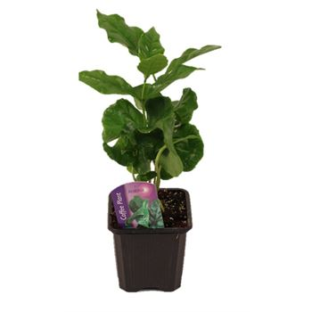 "3"" Coffee Plant (Arabica)  (case 32)"