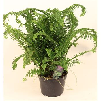 "6"" Ferns Assorted     (Case 8)"