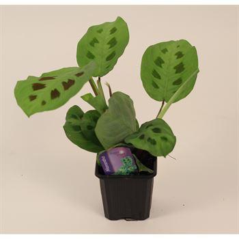 "3"" Prayer Plant            (Case 32)"