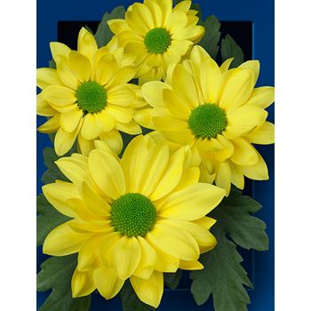 Poms (Cutmums) Yellow Daisy