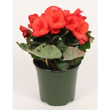 "4.5"" Begonia Assorted (Case 15)"