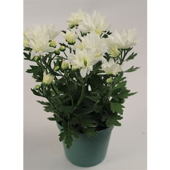 "4.5"" Mums White Daisy (Case 15)"