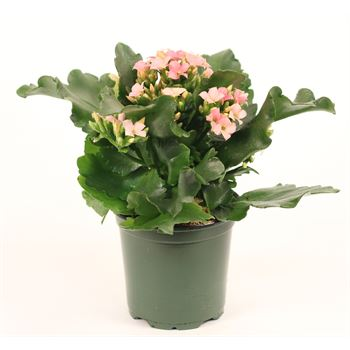 "4"" Kalanchoe Assorted (Case 18)"