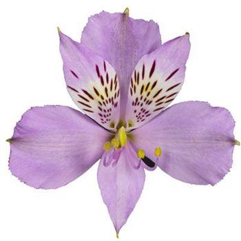 Alstroemeria Select Platina
