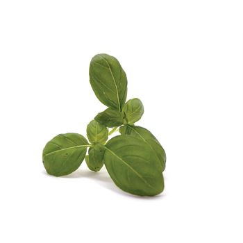 "4.5"" Herbs Organic Basil Lettuce Leaf        (Case 15)"