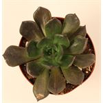 """Additional Images for 3.25"""" Echeveria     (Case 18)"""