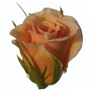 Sweetheart Rose Surprise (peach)
